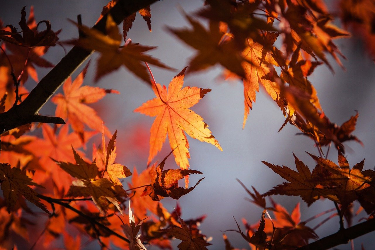 maple, leaves, fall